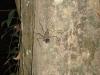 Scorpian Spider